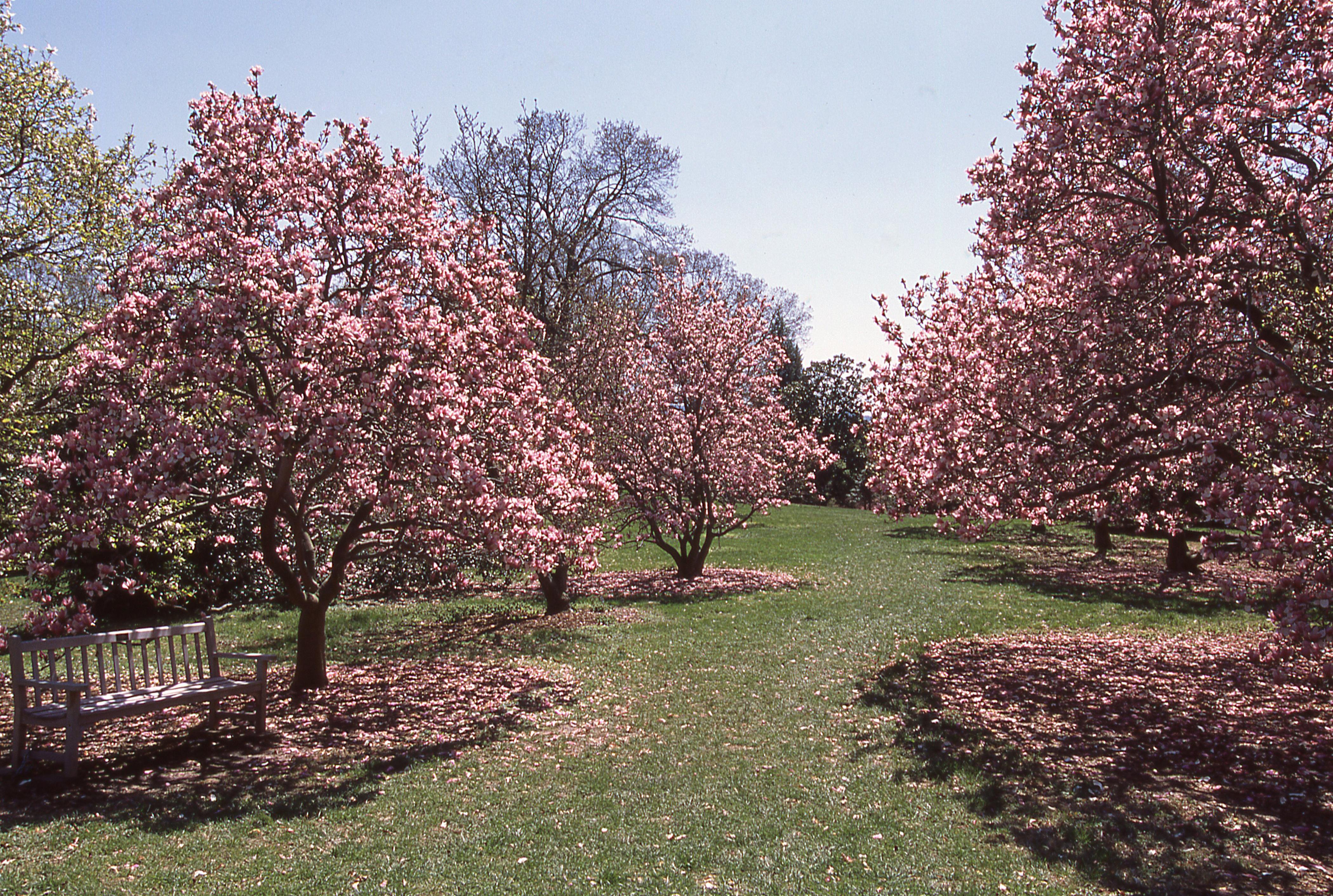 spring cherry blossoms national arboretum