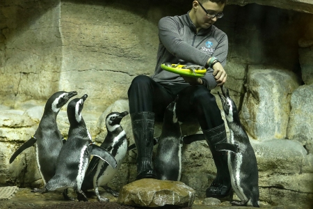 Magellanic penguins being fed at Chicago's Shedd Aquarium