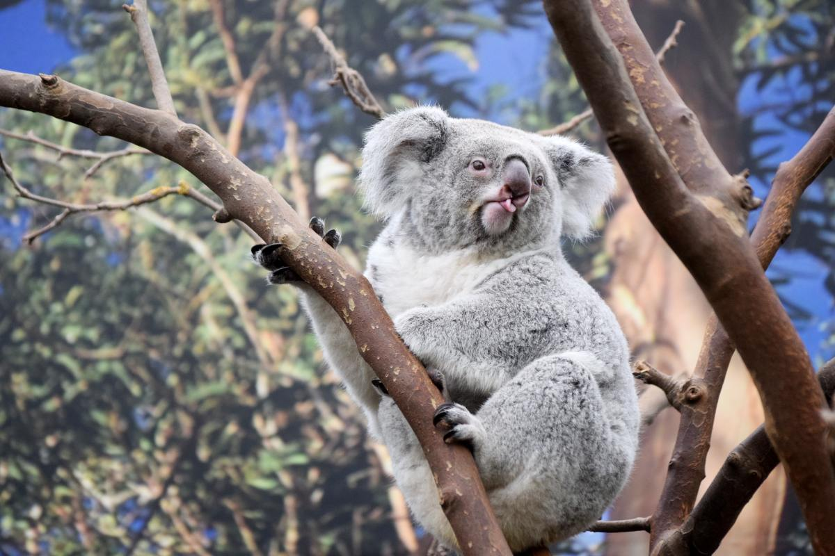 koalas australian bushfires