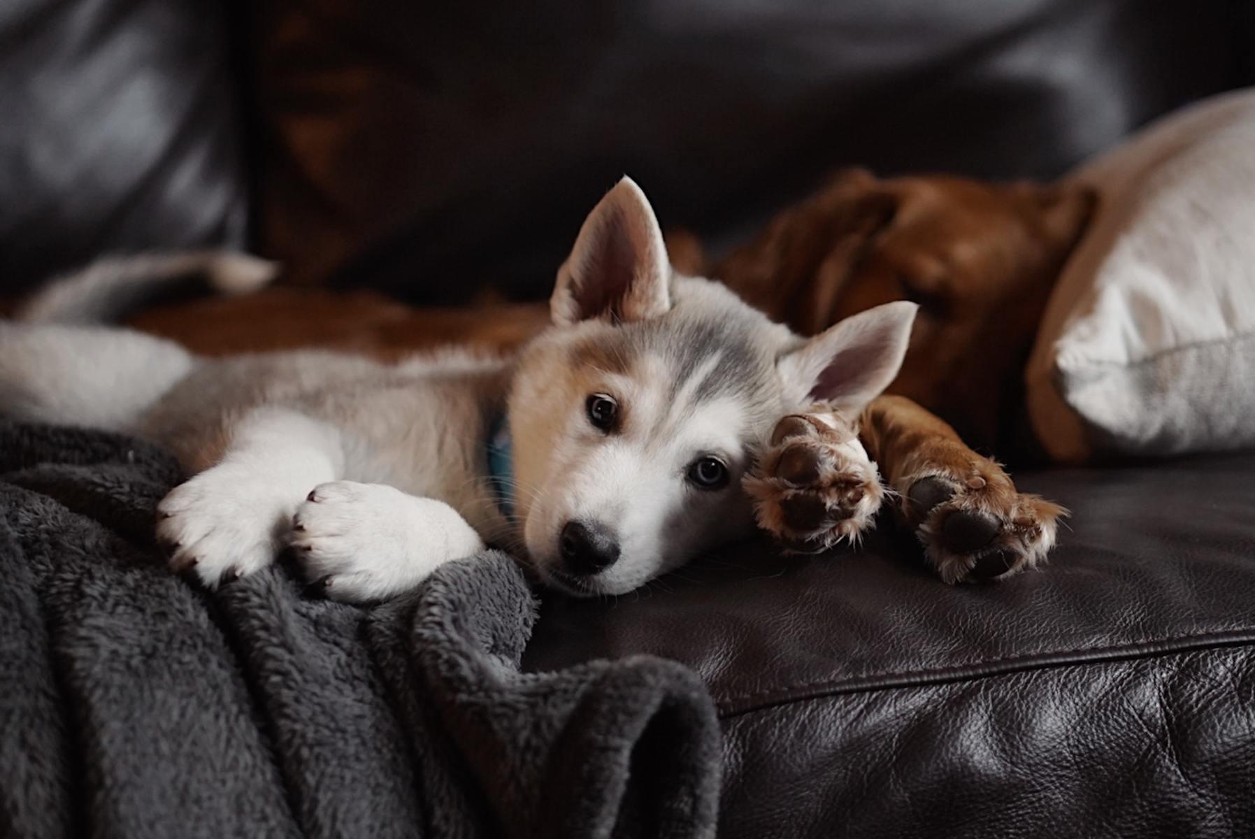 dogs coronavirus