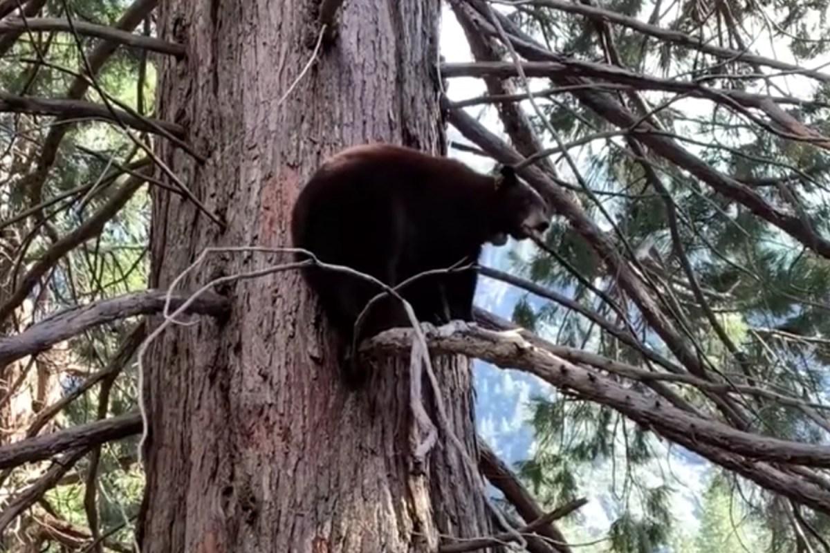 A black bear in a tree at Yosemite National Park