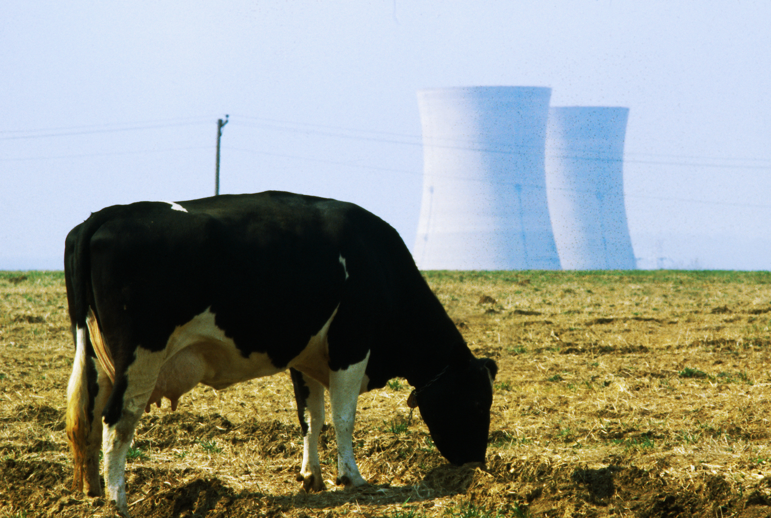 Cow Grazing in Front of Three Mile Island Power Plant