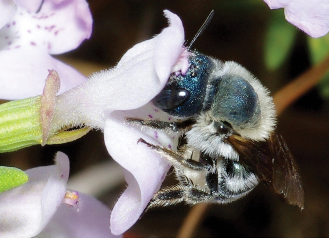 Distinctive Blue Bees, Believed Extinct, Found Again in Florida