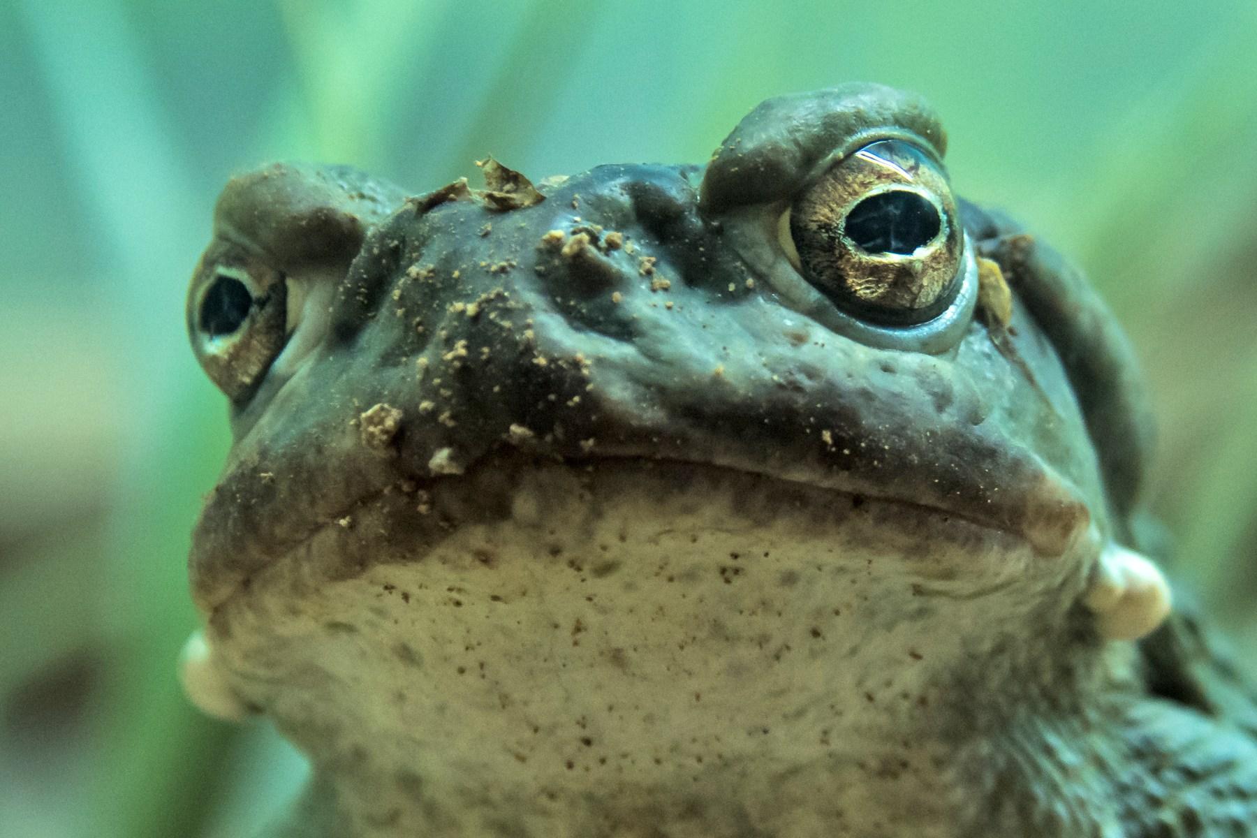 toad venom