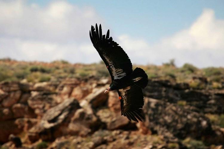 California condor flying through the air