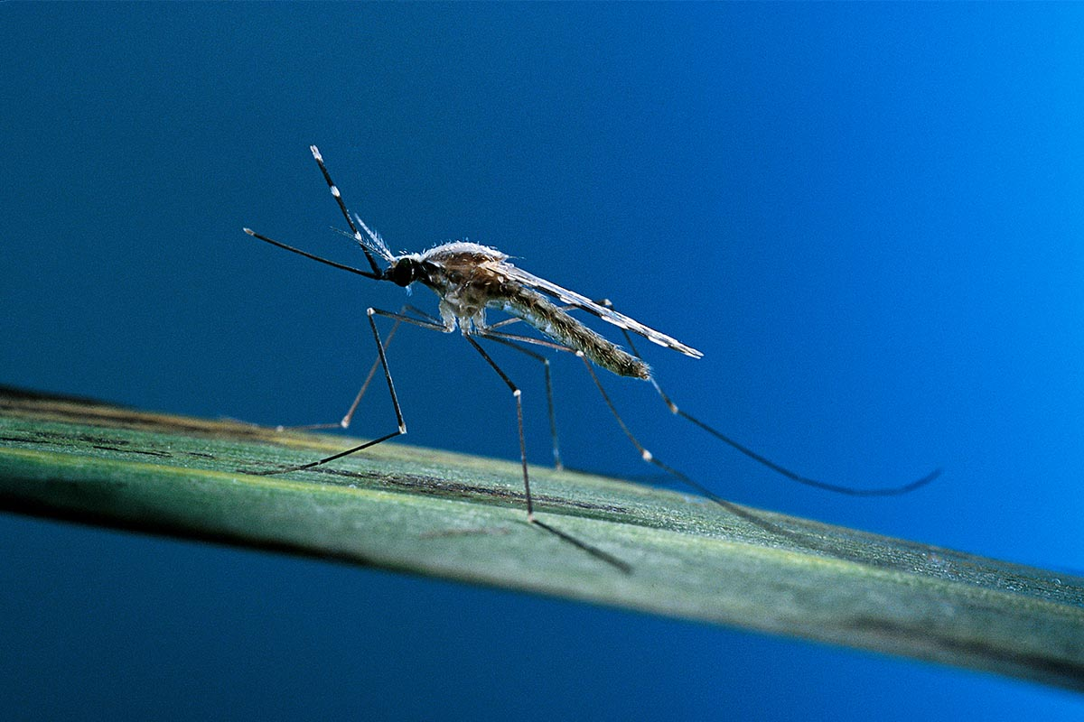Anopheles maculipennis (malaria mosquito) on a leaf