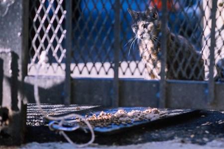 feral cats new york rats