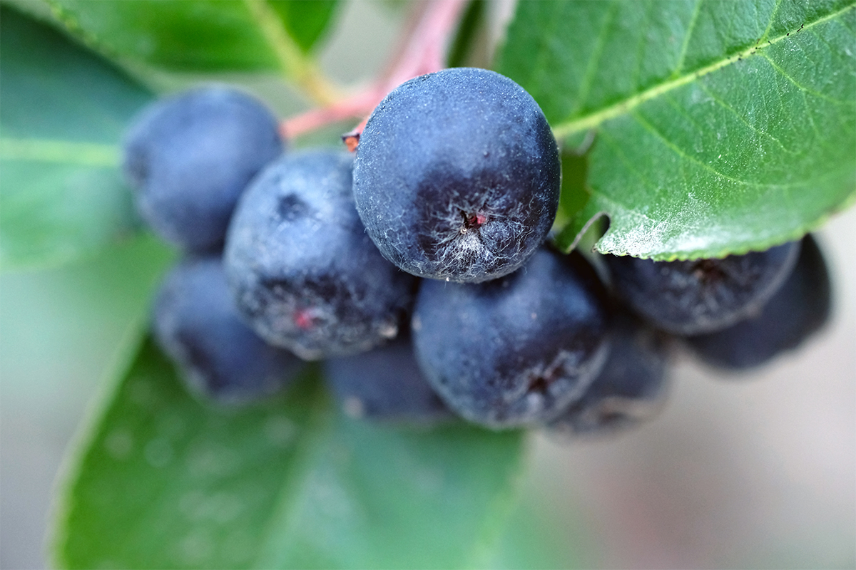 "The Aronia Berry Is Here to Challenge Blueberries for the ""Superfruit"" Throne"