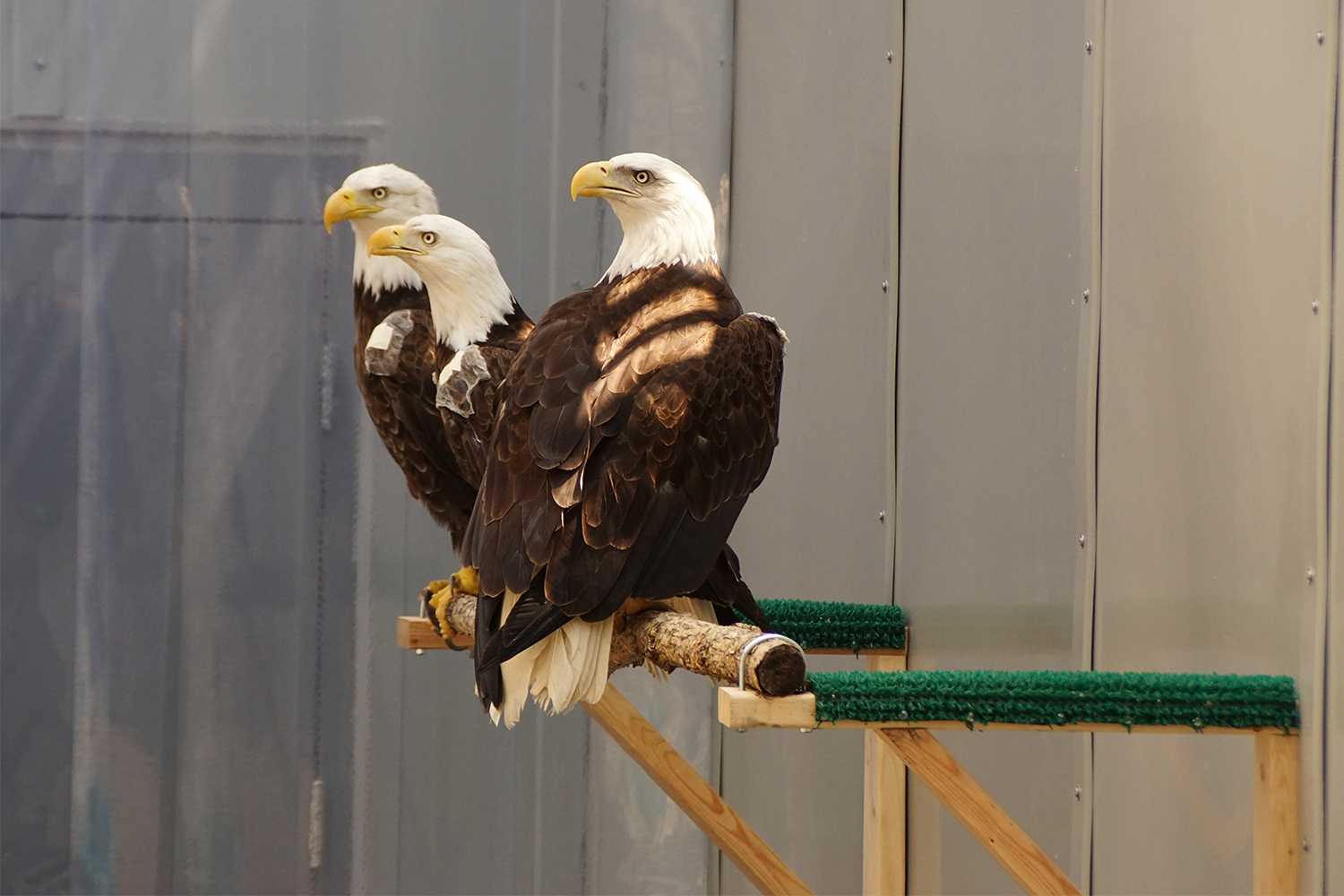 Three bald eagles in an outdoor enclosure at the University of Minnesota Raptor Center