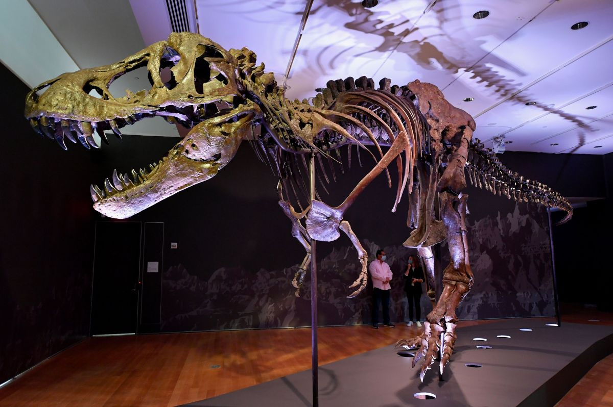 "A Tyrannosaurus rex (T-Rex) skeleton, named Stan is on display during a press preview at Christie's Rockefeller Center on September 15, 2020 in New York City. - The skeleton of a 40-foot (12-meter) dinosaur nicknamed ""Stan"", one of the most complete Tyrannosaurus rex specimens ever found, will be auctioned in New York next month and could set a record for a sale of its kind. (Photo by Angela Weiss / AFP) (Photo by ANGELA WEISS/AFP via Getty Images)"