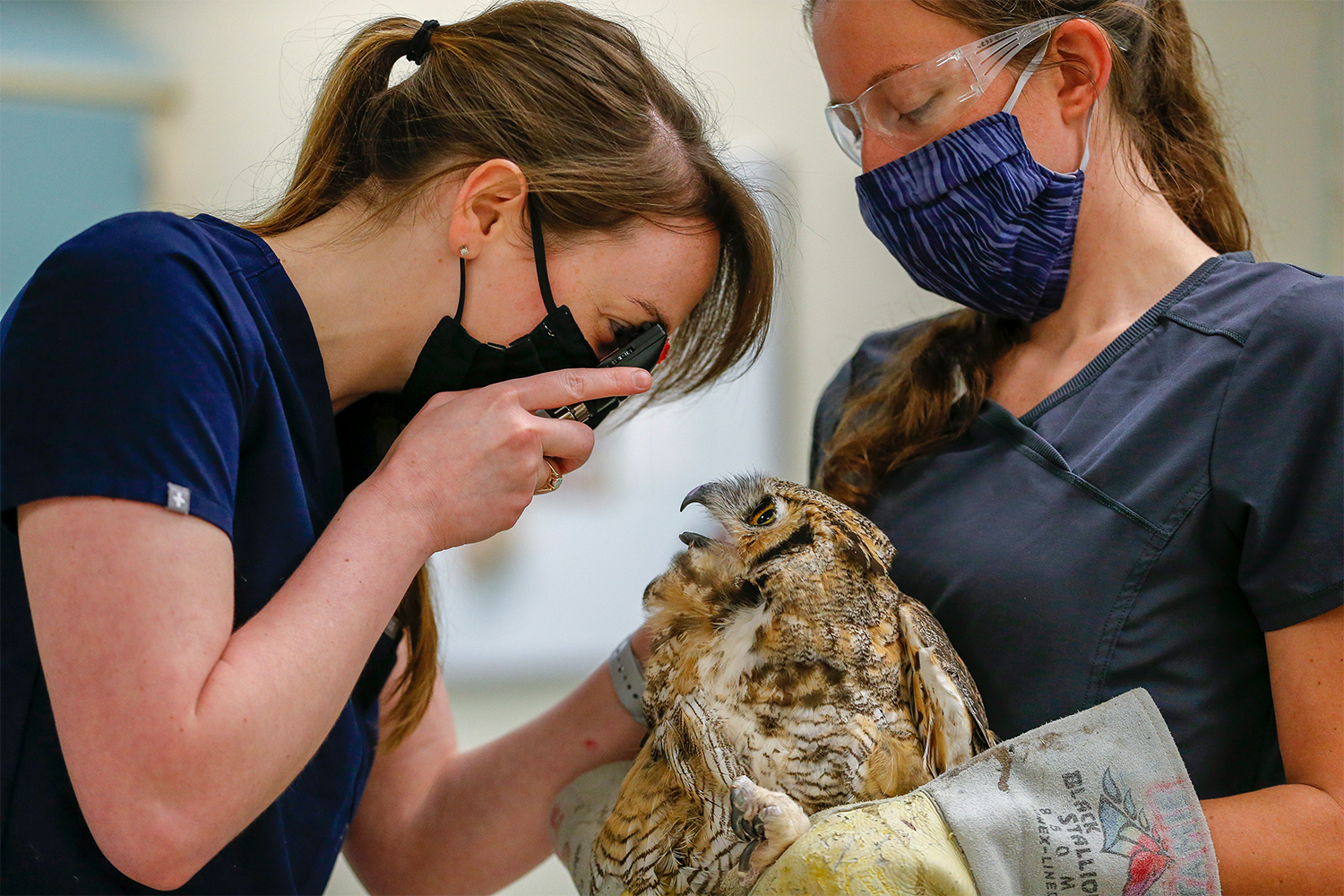 A great horned owl gets an eye exam at the University of Minnesota's Raptor Center