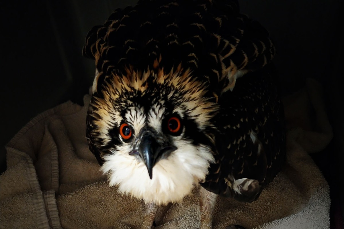 A juvenile osprey at The Raptor Center at the University of Minnesota