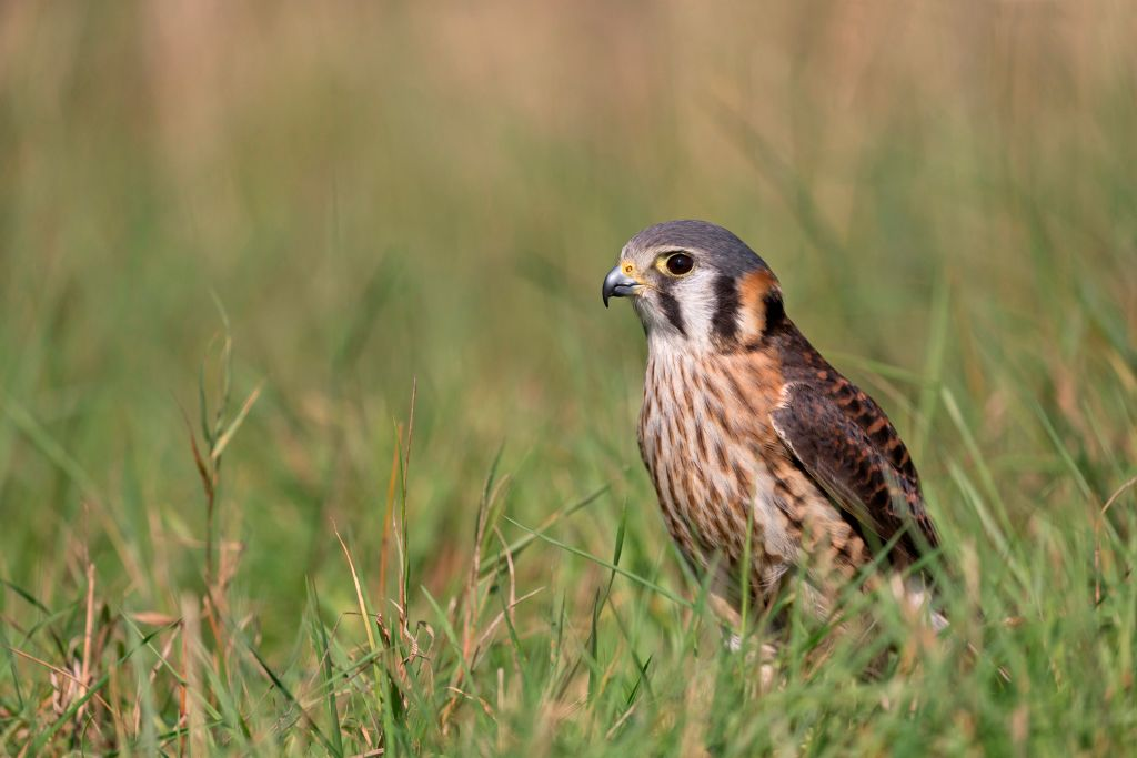 American Kestrel (Falco sparverius) adult female standing on grass, controlled subject