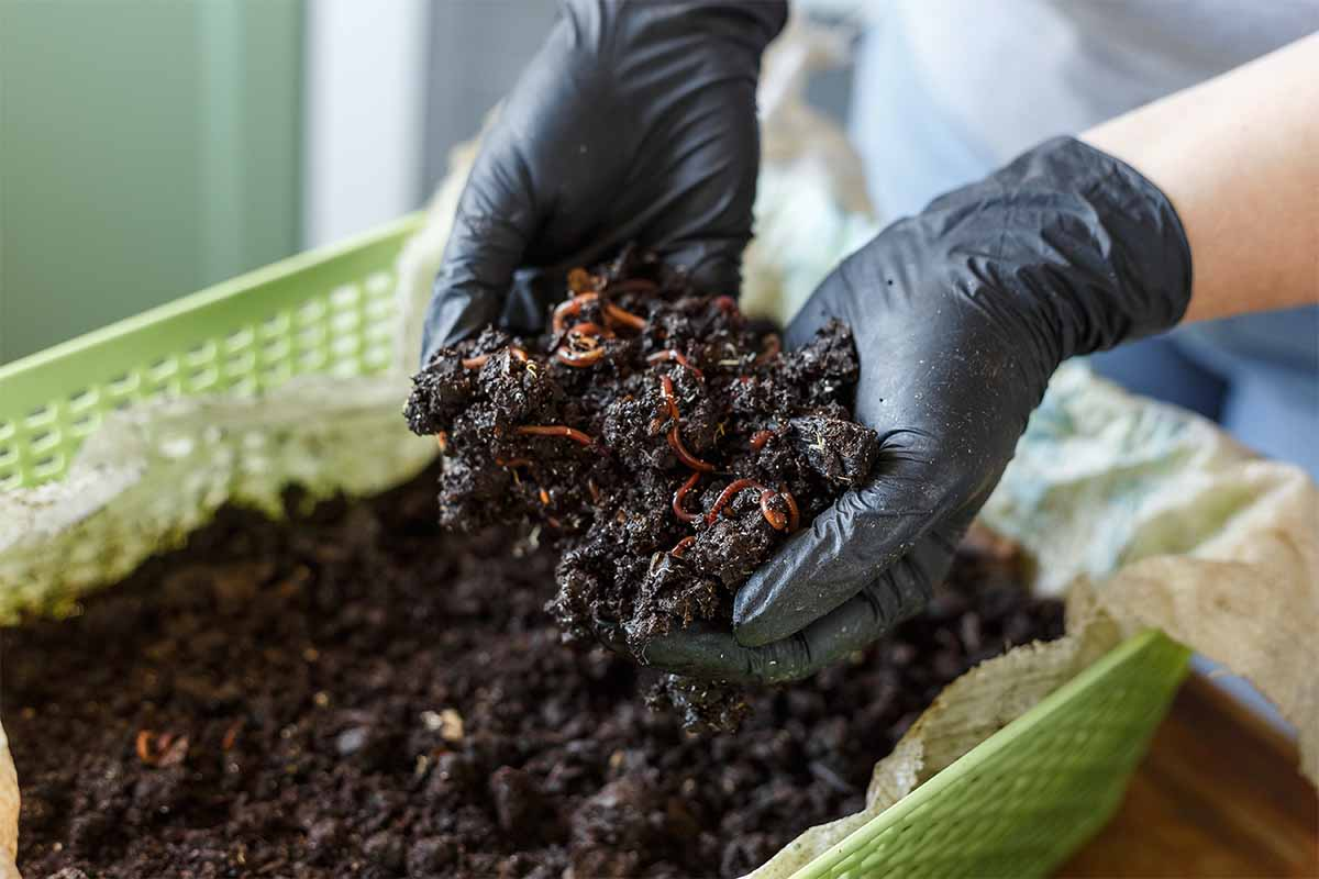 Vermicomposting or Homemade Worm Composting is method of turning home plant based garbage and kitchen food leftovers into rich organic soil fertilizer