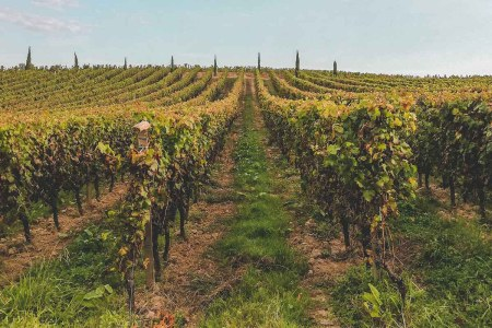 An example of a vineyard in Bordeaux, one of many areas in France hit hard by low temperatures