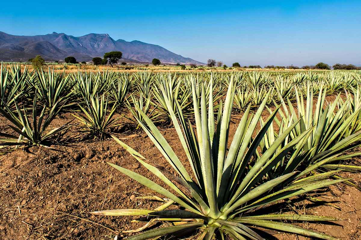 """View of a plantation of """"espadin"""" agave, the main variety of agave used to make mezcal at a field in Santiago Matatlan, Oaxaca state, Mexico"""