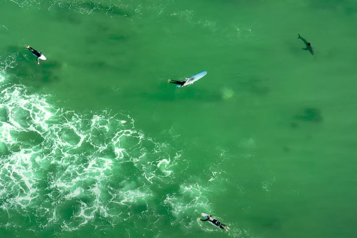 Drones Reveal That Great White Shark Encounters Are Extremely Common