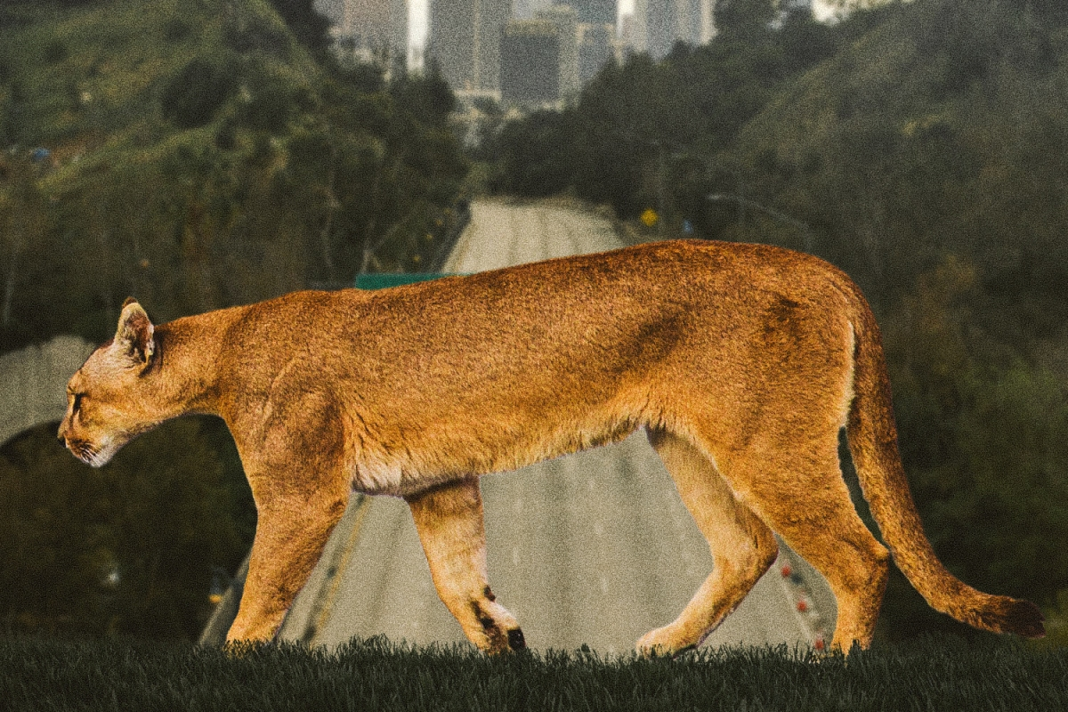 Inside the Campaign to Save LA's Mountain Lion Population
