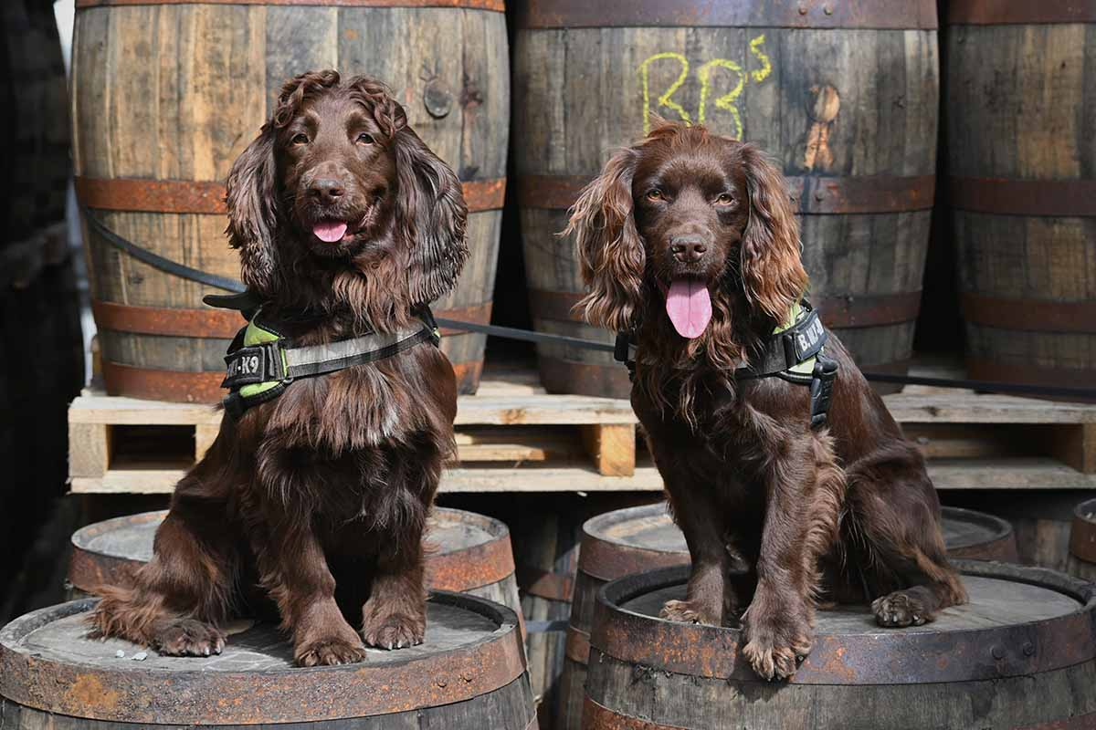 Bran and Rocco, two detection dogs being used by a whisky maker in Scotland