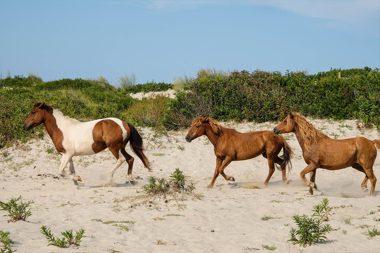 Wild Assateague ponies