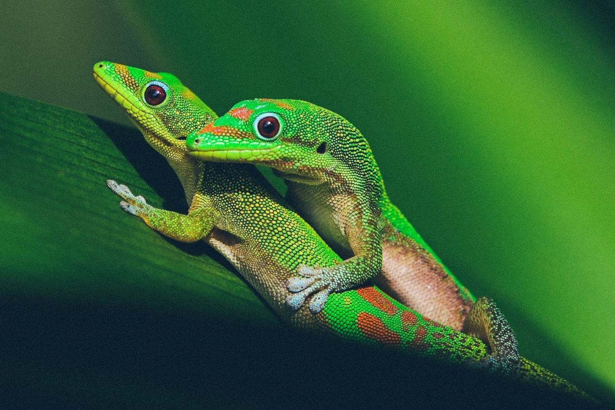 Pair of mating green geckos on spider lily leaf.