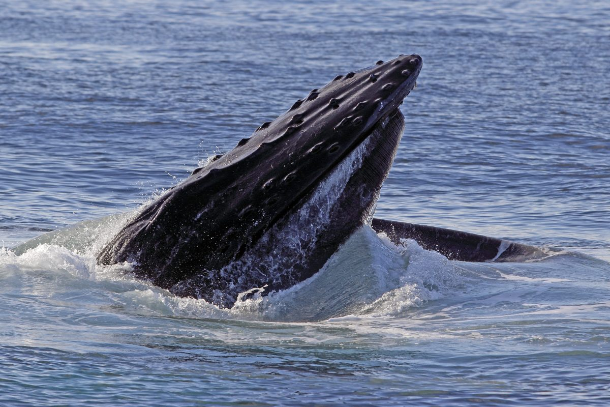 A Humpback whale breaching the surface of the ocean