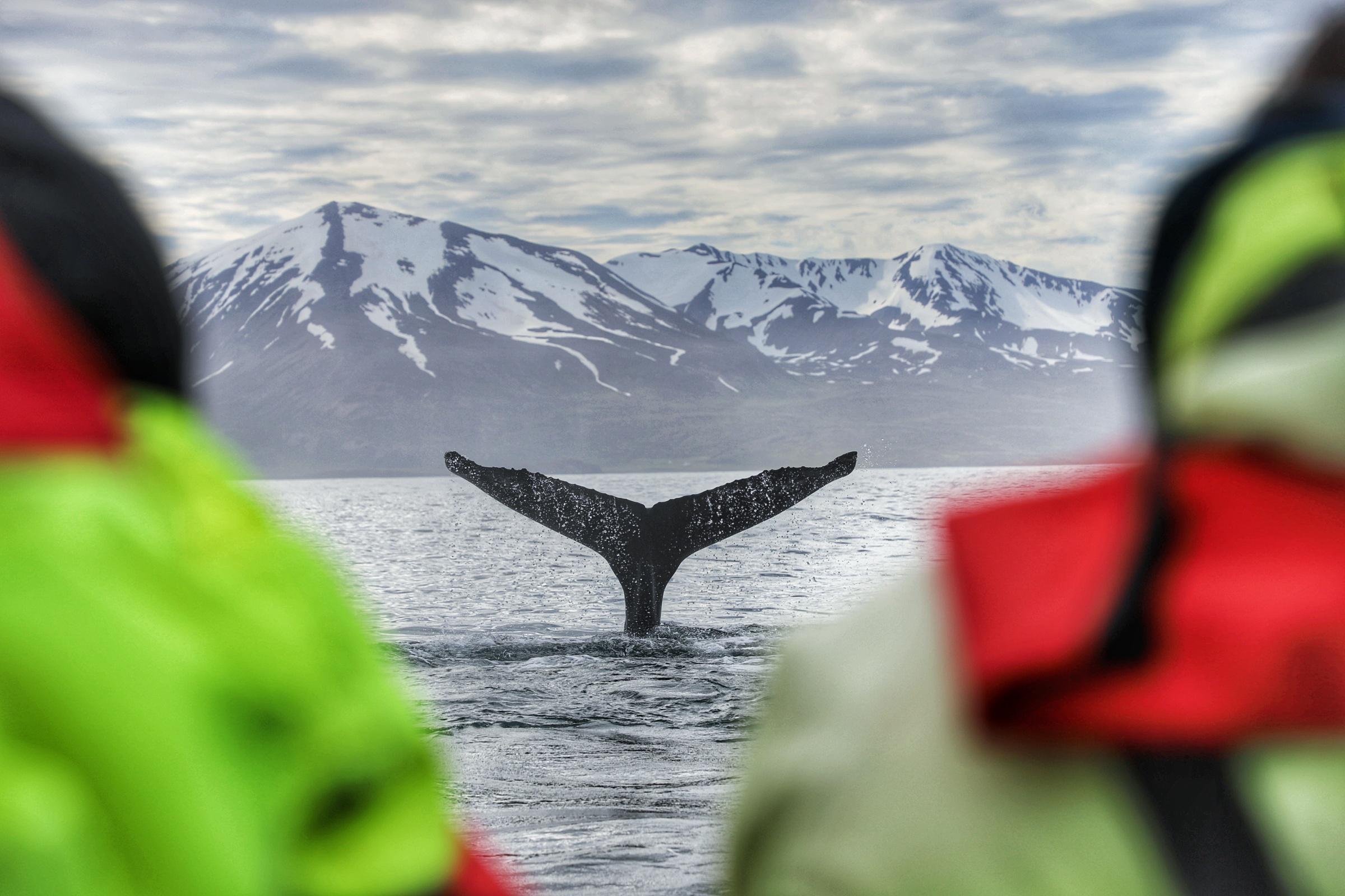 Whale watching in Húsavík iceland