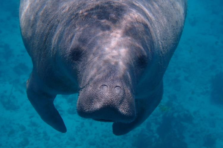 It's a tough time to be a manatee.