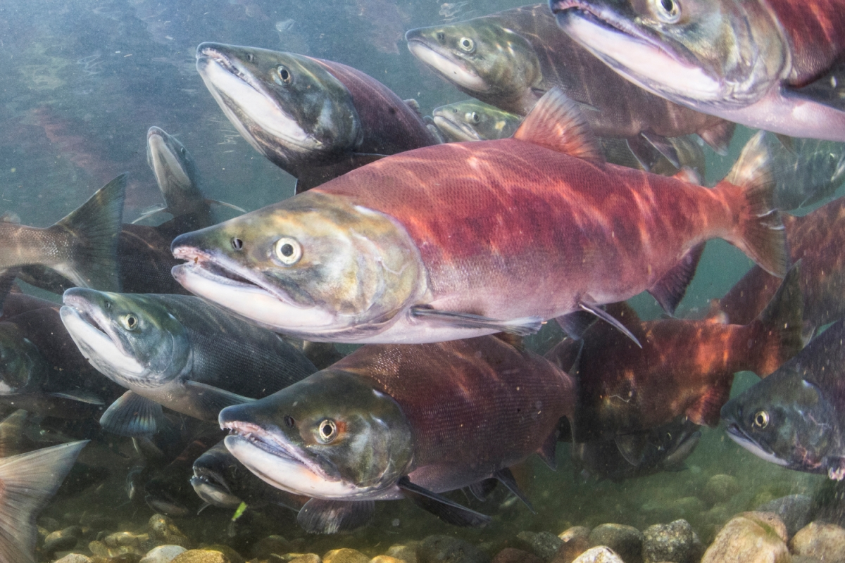 Red salmon swimming underwater. A Germany agency recently found some local salmon may have been introduced to cocaine.