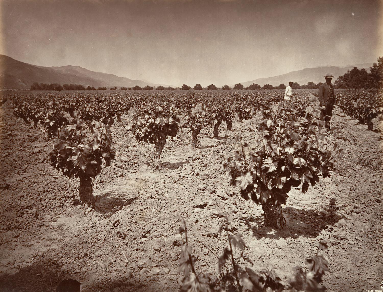 The vineyard of Camulos Ranch in Ventura County, c. 1876