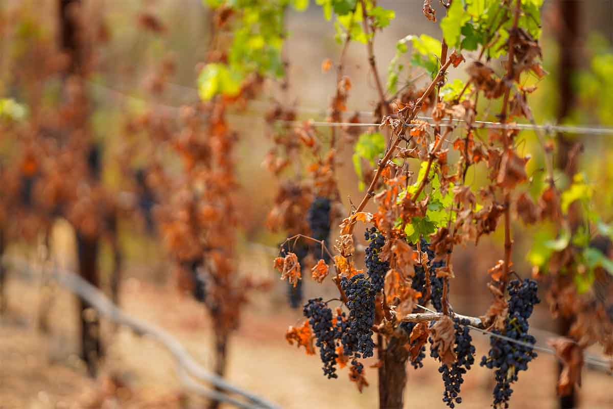 The vineyards at the Somerston Estate Winery & Vineyards, photographed on Wednesday, Sept. 30, 2020 in St. Helena, CA. Wineries like Somerston are forgoing a 2020 vintage due to the ongoing wildfire season, which has seen two major wildfires in the region, so far.