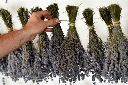 A man holds lavender leaves.