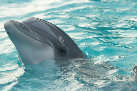 Photograph shows a dolphin head poking out above the water