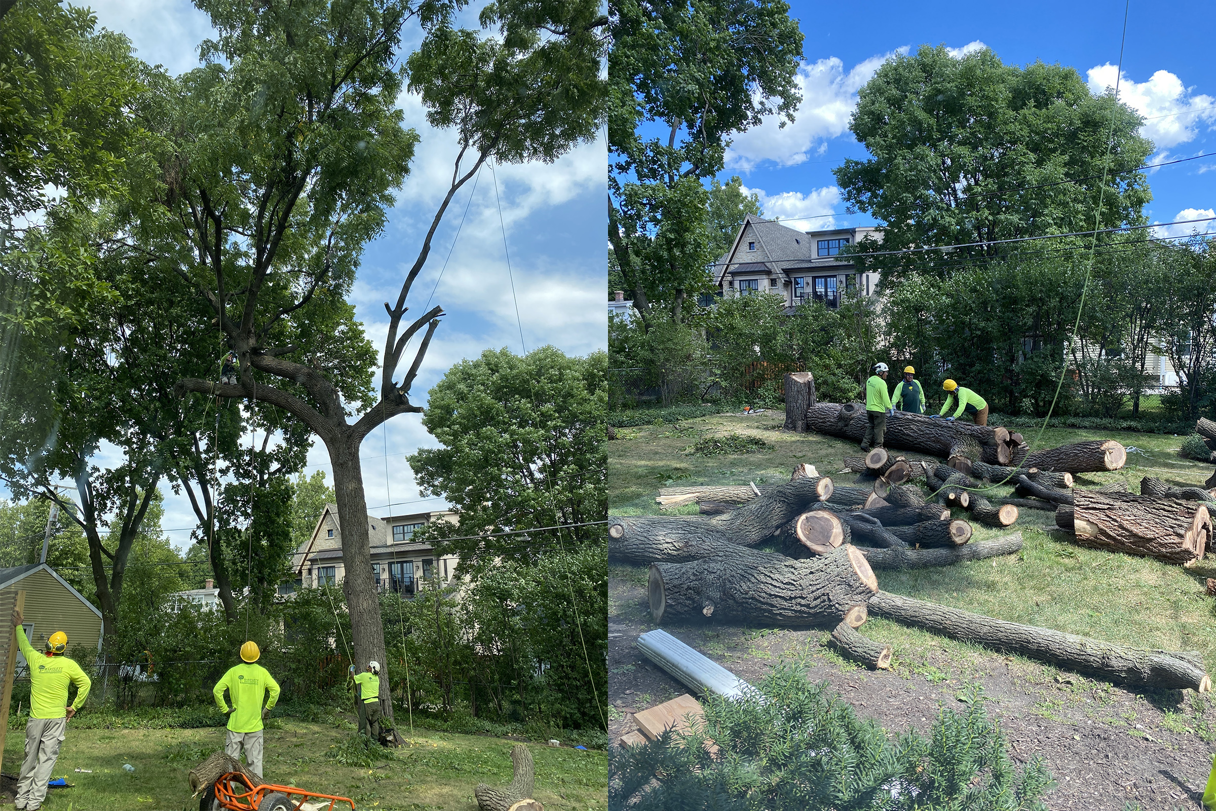 Before and after photos of a sick black walnut tree being taken down by Urban Wood Design in Chicago.