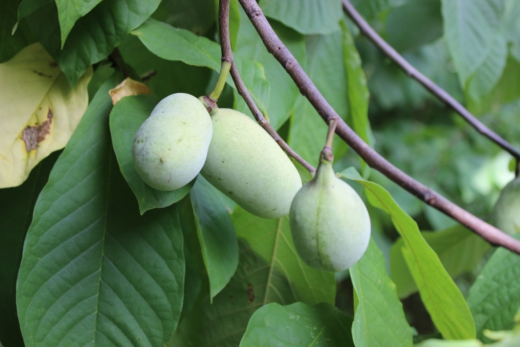 Pawpaw fruits grow on trees in DC.