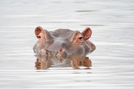 A hippopotamus lurks