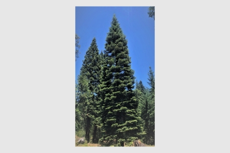 This white fir from the Six Rivers National Forest in California is this year's DC tree.